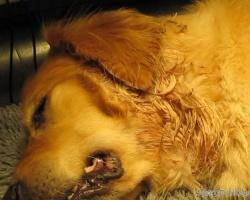 Her er en Hot Spot på en hund før jeg går i gang med behandlingen