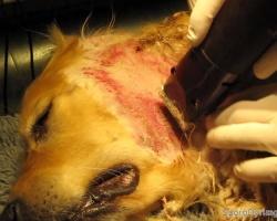 Her bliver pelsen klippet af et hotspot og eksemen bliver hurtigt synligt